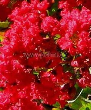 Crape Myrtle 'Super Rouge'