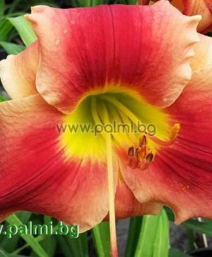 Daylily 'Happy Apache'