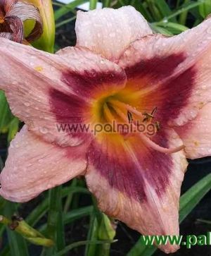 Daylily 'Wineberry Candy'