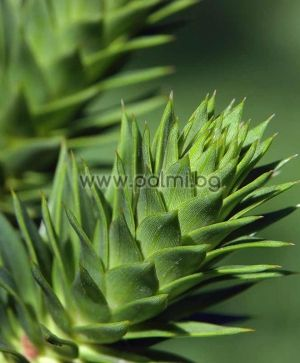 Chilean Pine, Monkey Puzzle Tree