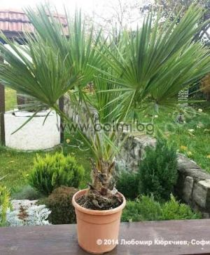 Guadalupe Palm