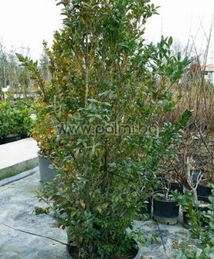 Boxwood, European Box, Common Box, 'Аrborescens'