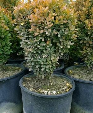 Boxwood, European Box, Common Box
