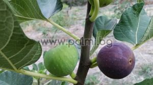 Fig variety Cerretto