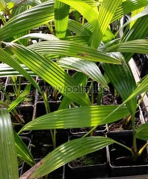 Chinese fan palm, small plant
