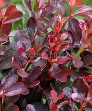 Red Japanese barberry form 'Atropurpurea'