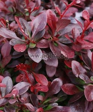 Red Japanese barberry, compact form 'Atropurpurea Nana'