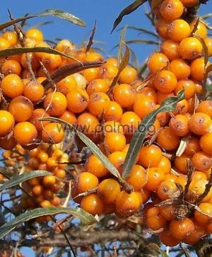 Seaberry, Sea Buckthorn, Sea Berry