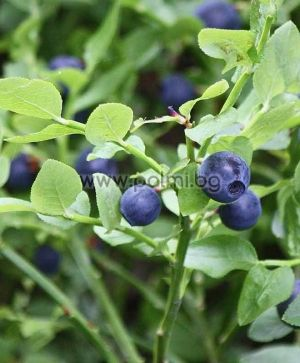 Bilberry, European blueberry