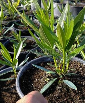 nerium oleander 39 maria gambetta 39 oleander gelb. Black Bedroom Furniture Sets. Home Design Ideas