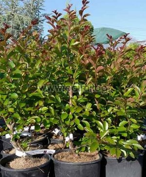 Lagerstroemia indica 'Royal Red', Индийски люляк, Лагерстремия сорт 'Royal Red' (Роял Ред)