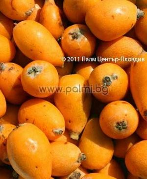 10 fresh seeds of Loquat