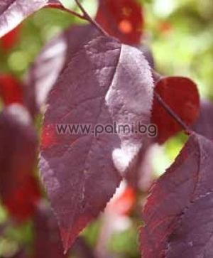 Red leaved Plum