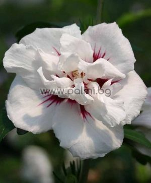 Speciosus Rose of Sharon