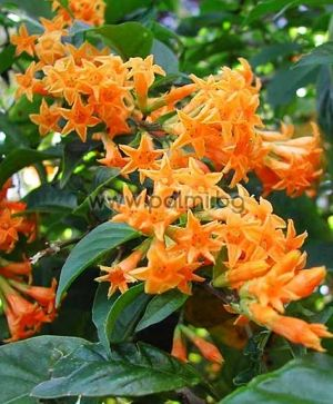 Orange Night Scented Jessamine, Queen of the Night
