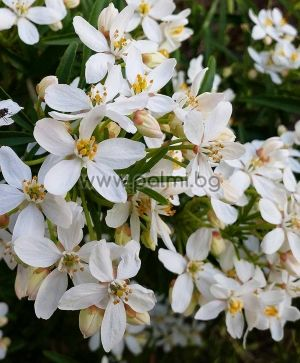 Choisya Aztec Pearl, Mexican Orange Blossom, Mexican Mock Orange