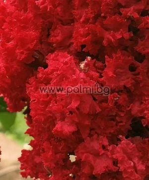 Crape Myrtle 'Royal Red'