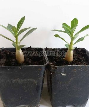 2 plants Desert Rose