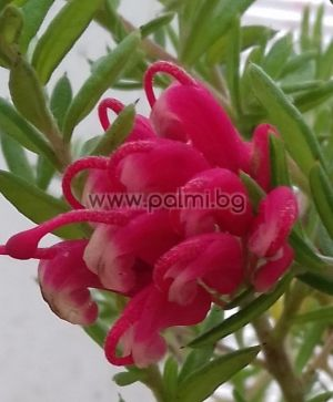 Juniper-leaf Grevillea, Prickly spider-flower