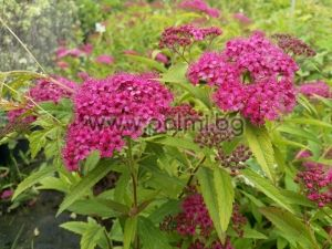 Japanese spirea 'Anthony Waterer'