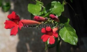 Mexican blood-trumpet