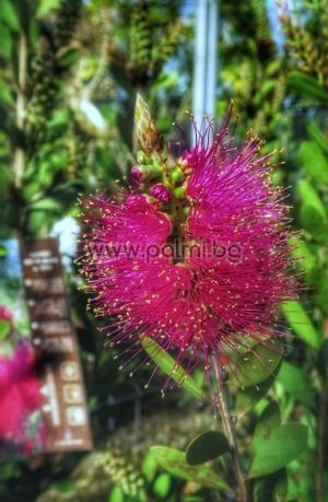 Weeping bottlebrush