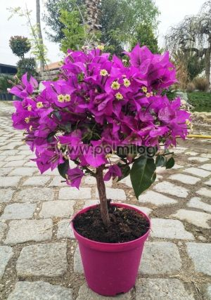 Bougainvillea 'Sanderiana' Mini Lollipop