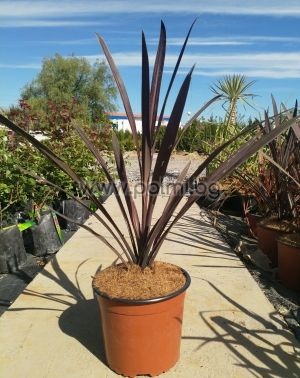 Keulenlilie, Cordyline Red Star