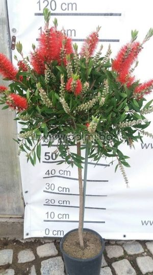 Bottle brush Lollipop
