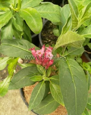 Red cestrum