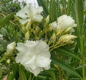 Oleander 'Album Plenum', Double white