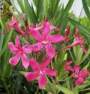 Oleander red, cold hardy, Hardy Red