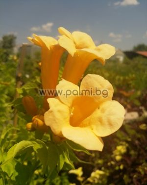 Yellow Trumpet vine