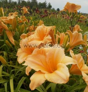 Daylily 'Brazilian Orange'