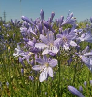 African lily