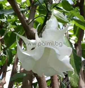 Brugmansia candida Double White