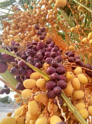 10 fresh seeds of Canary Island Date Palm