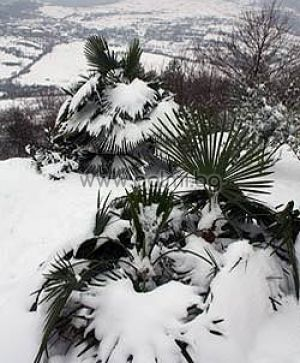 "Trachycarpus 'Bulgaria', The Legendary Trachycarpus ""Bulgaria"", Polar palms"