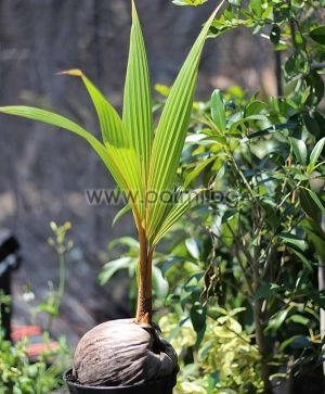 Golden Malayan Dwarf Coconut palm
