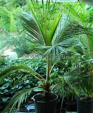 Golden Malayan Dwarf Coconut palm in 25 ltr. container