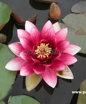 Nymphaea alba Red, Rote Seerose