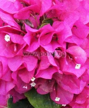 Bougainvillea, violet, var. 'Lady Mary'