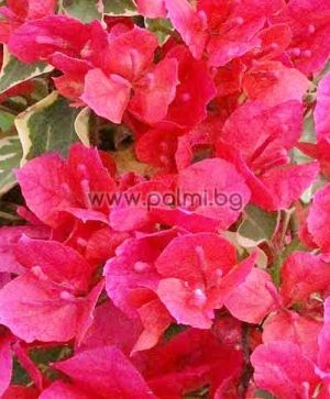 Bougainvillea, purple, variegated, 'Raspberry Ice'