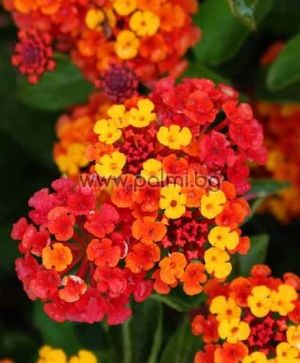 Lantana (orange, pink, yellow)