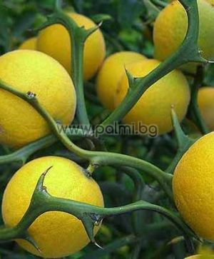 Trifoliate orange 'Flying Dragon'